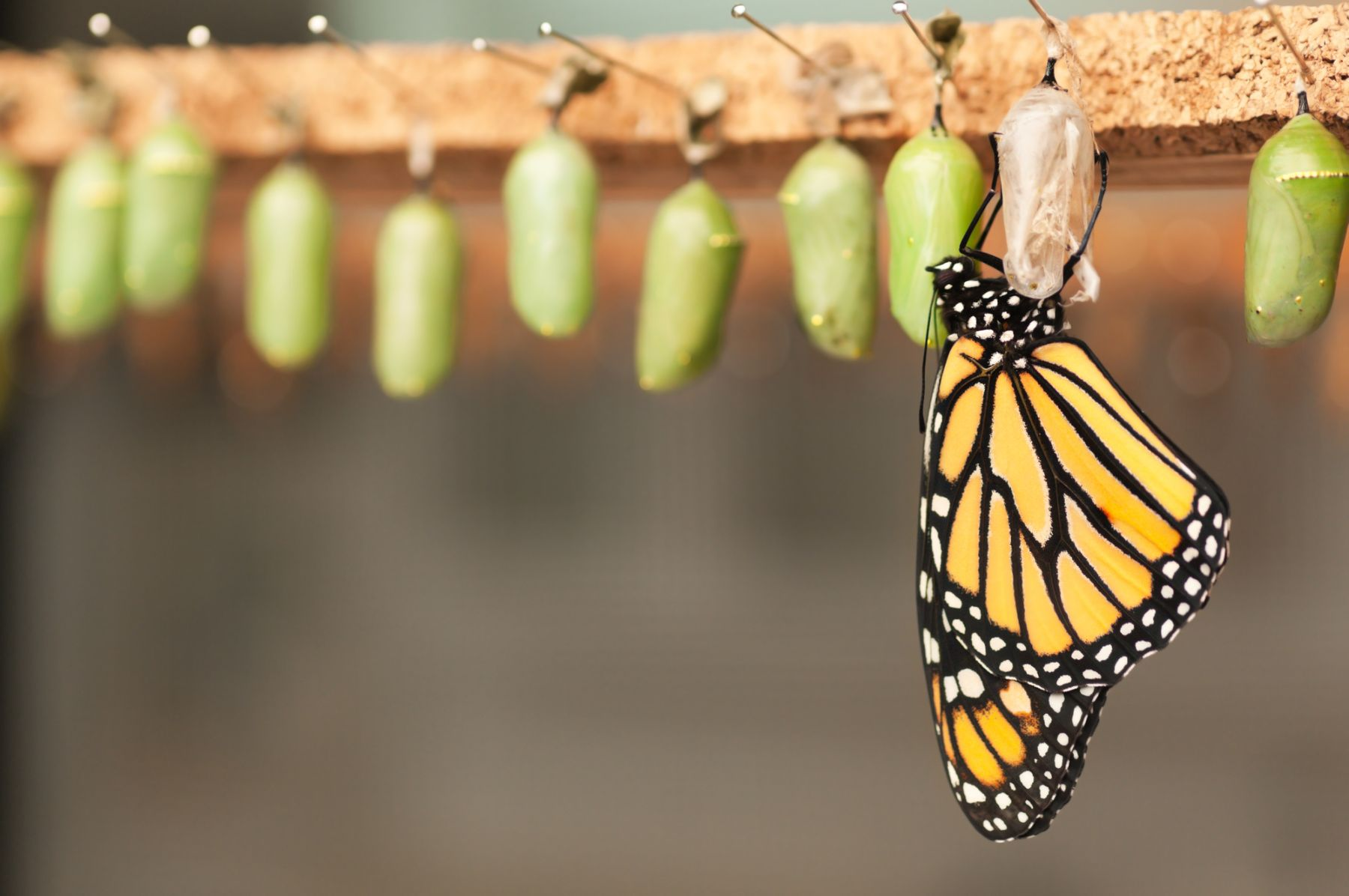 Butterfly emerging form cocoon.